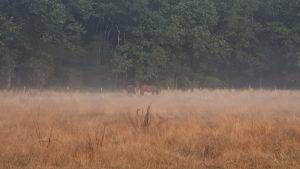 Paarden in de ochtendmist Loenense bossen